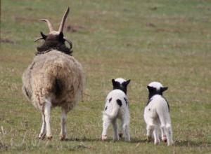 Jakobova ovce