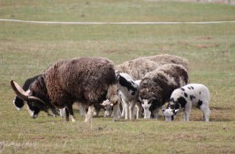 Stádo Jákobových ovcí