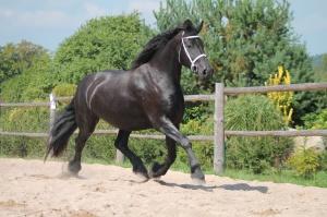 Fríský kůň | Isis