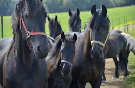 Stádo Fríských koní
